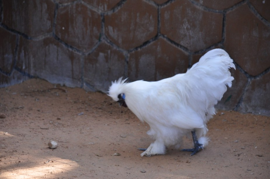 raising silkie chickens