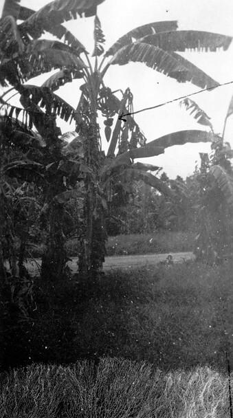Banana Tree, 1946