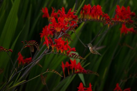 Montbretia with hummingbird
