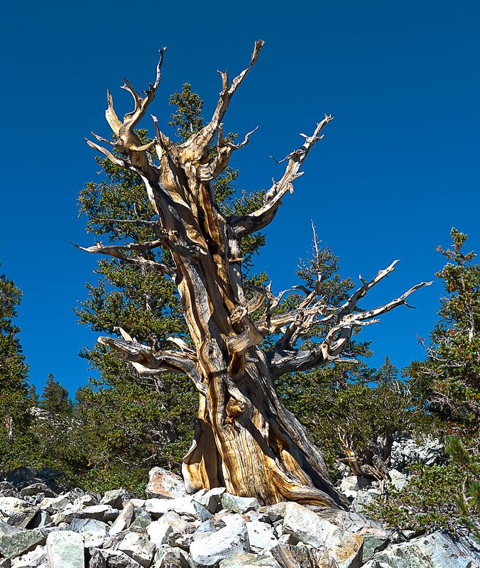 Bristle Cone Pine HDR