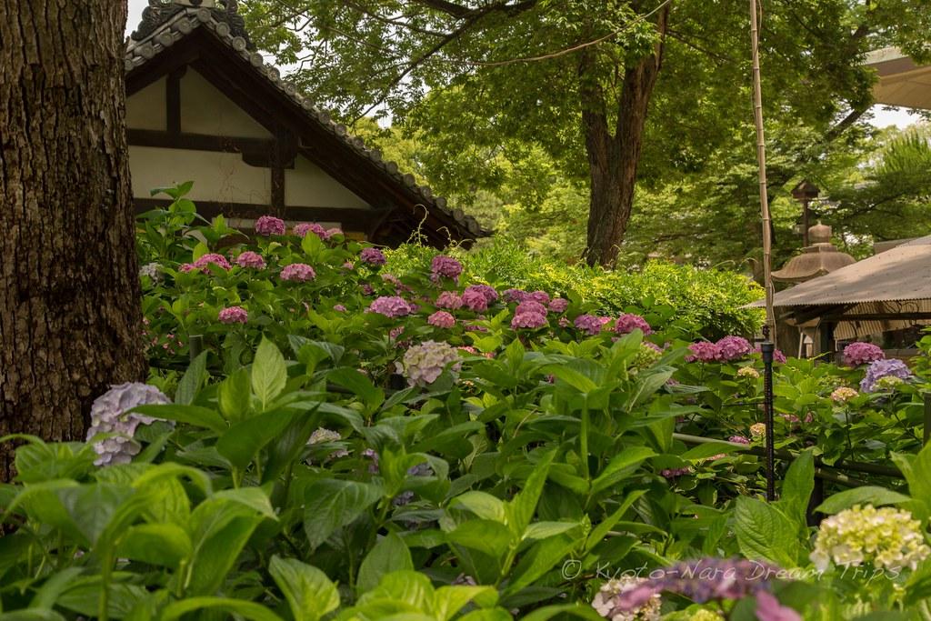 Hydrangea Palace Garden of Fujinomori Jinja in Kyoto!