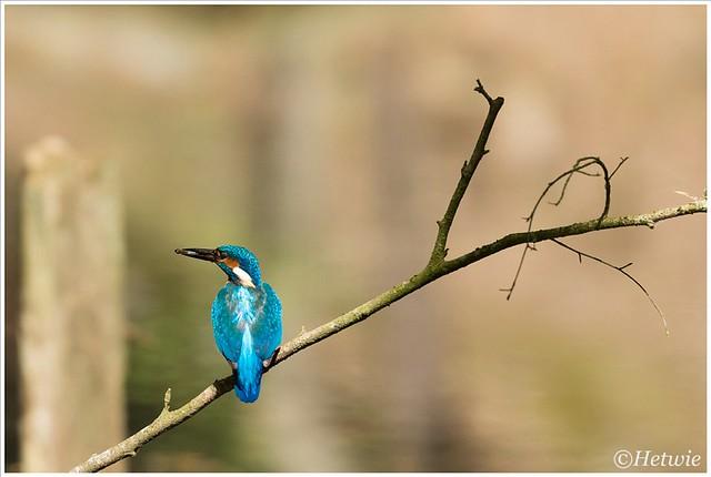 kingfisher (HP010817)