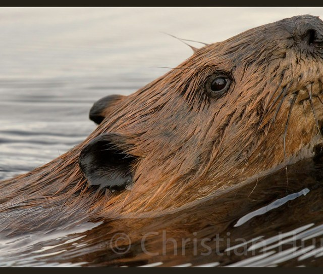 By Christian Hunold Thats One Hairy Beaver By Christian Hunold