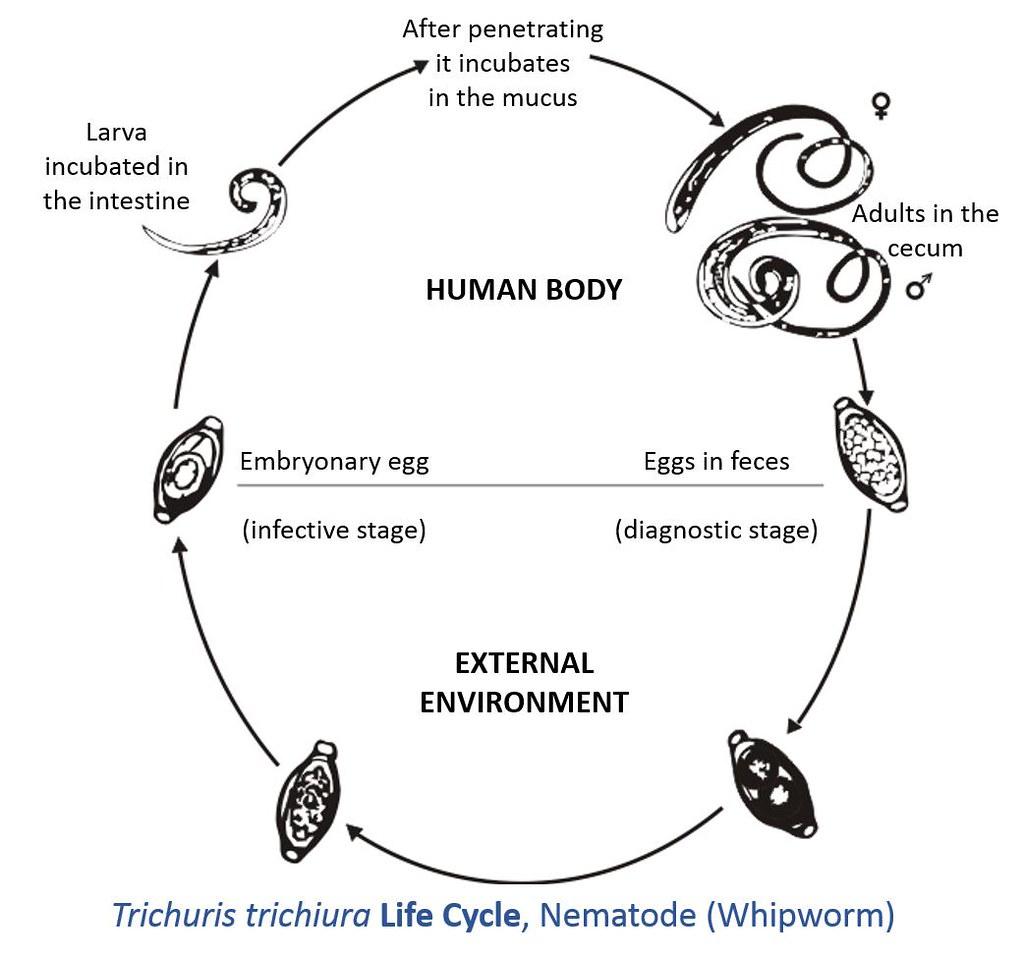 Trichuris Trichiura Life Cycle