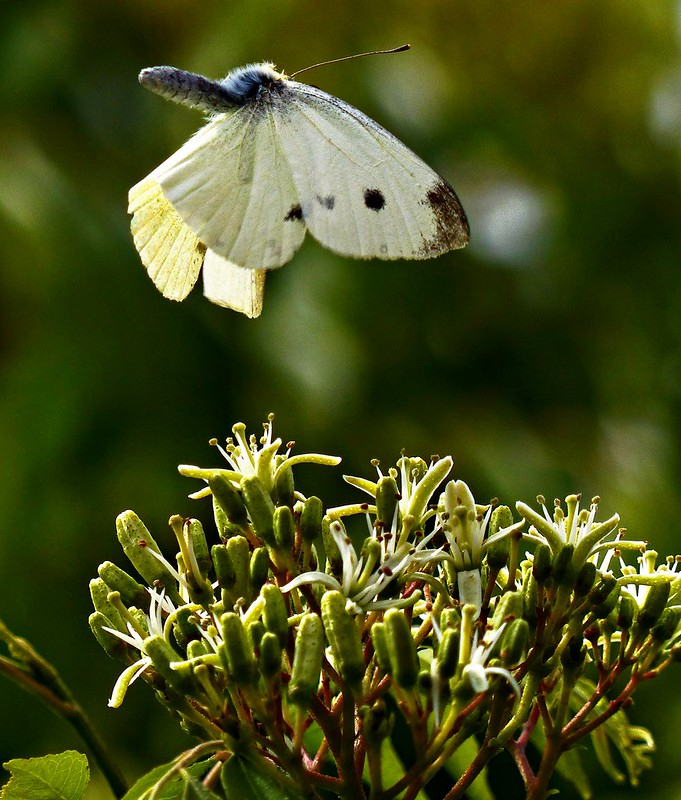 """Cabbage White Butterfly"" making a quick ascent from the flower (Back flip)"