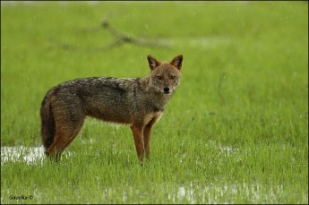 Golden Jackal ( Canis aureus ) @ Kumana National Park