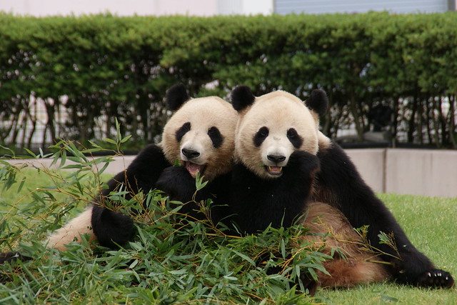 Aihin (愛浜) gave birth to a cub on May 6, 2016, but...