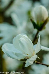 Tulip Magnolia Flowering Branches-2