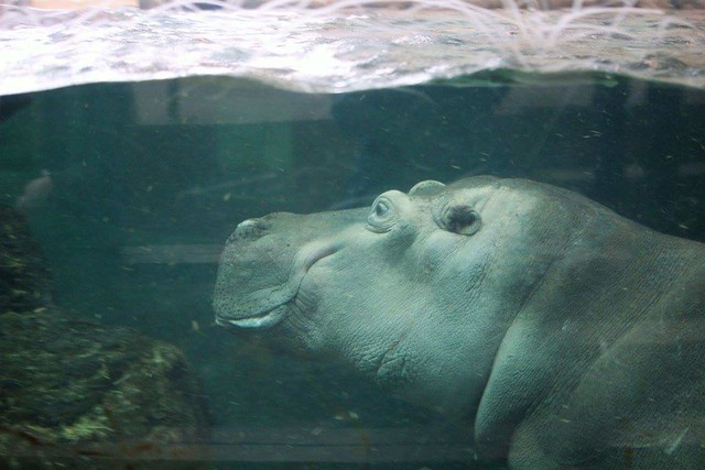 One of the hippos at the Calgary Zoo.
