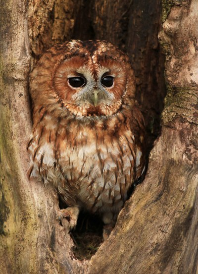 Tawny-Owl-in-Hollow