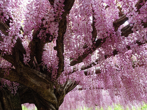 Wisteria Vine in Kawachi Fuji Garden, Japan