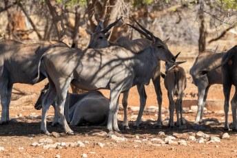 Vanaf het terras zagen we voornamelijk Elandantilopen (Taurotragus oryx). De grootste antilope ter wereld, dat dan weer wel.