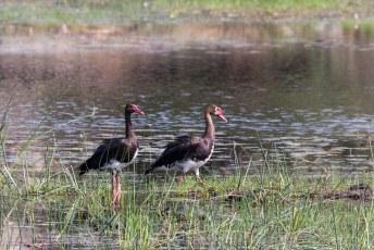 De spoorwiekgans (Plectropterus gambensis), wat een rare vertaling is van het engelse spur-winged goose.