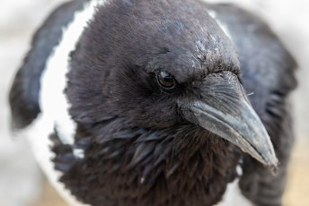 Een schildraaf (Pied Crow).
