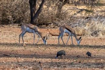 Even later toen we voor ons huisje zaten kwamen er gelukkig een paar Springbokken (Antidorcas marsupialis) en parelhoenders langs.