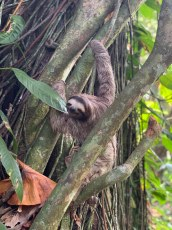 Sloth in the trees of Playa Chiquita (feb, 2019)