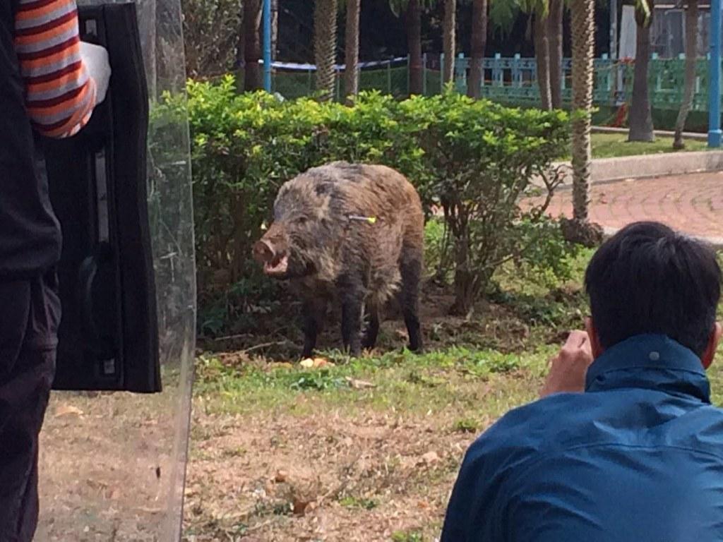 香港野豬殺戮終結?收起獵槍換安樂死 爭議未平 | 環境資訊中心