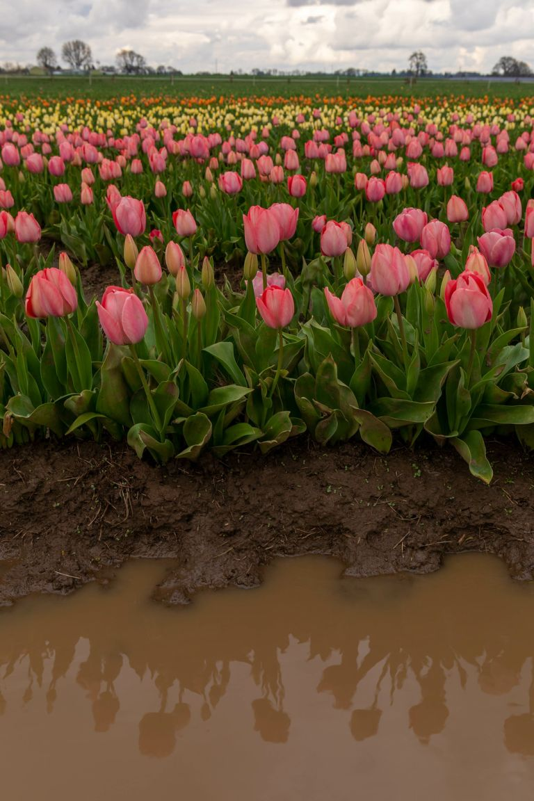 04.02. Wooden Shoe Tulips Festival