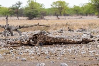 Dit is ook de natuur, de restjes die de leeuwen van een giraf overlieten.