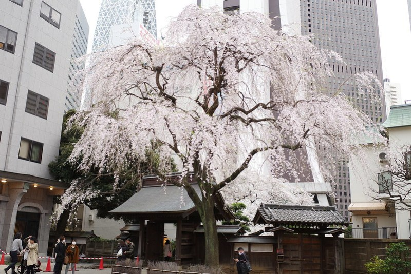 ji Temple Sakura blossoms 02