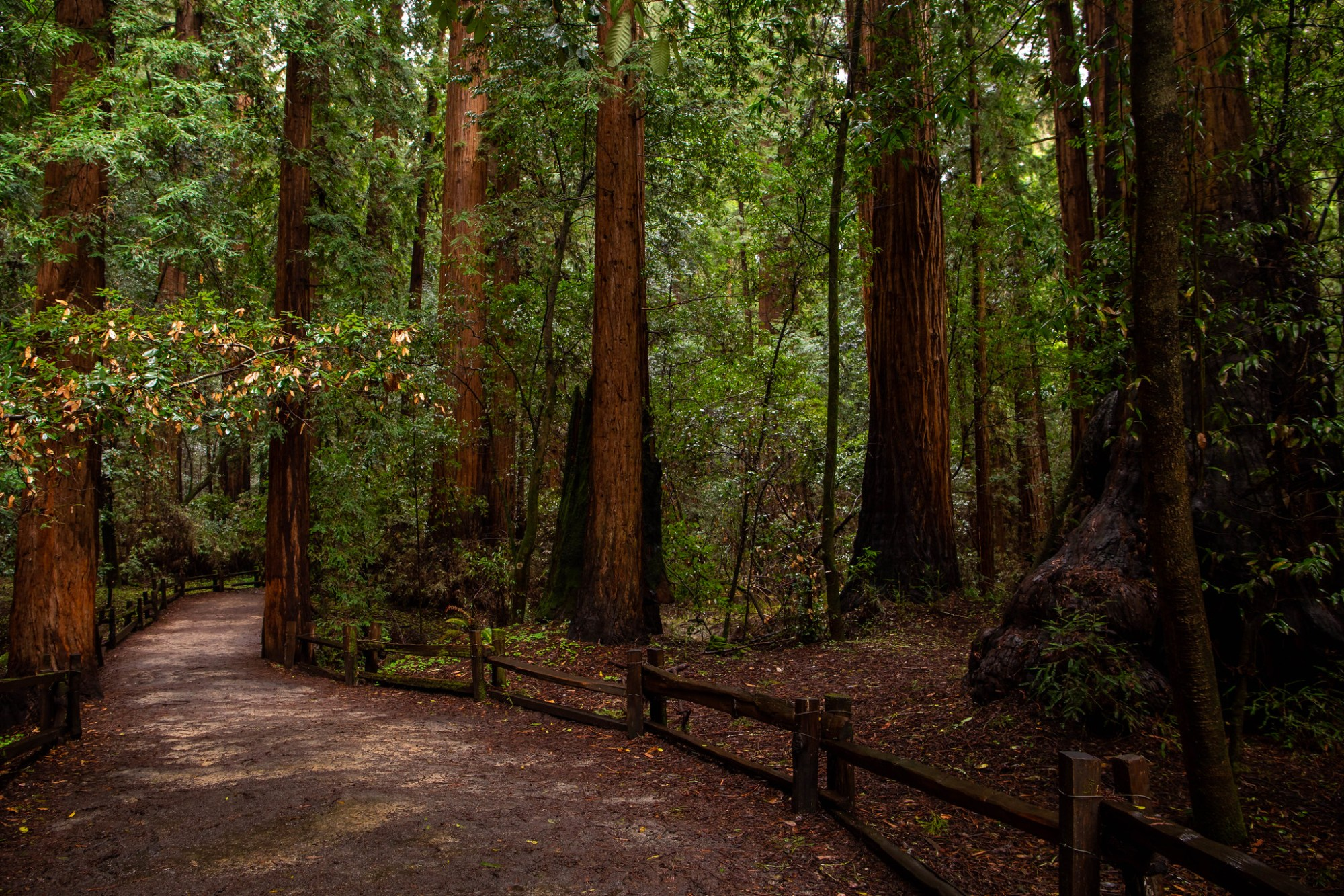 03.09. Henry Cowell Redwoods State Park