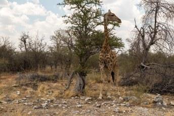 Na het ontbijt gingen we op safari in het Etosha National Park, de belangrijkste trekpleister van Namibië.