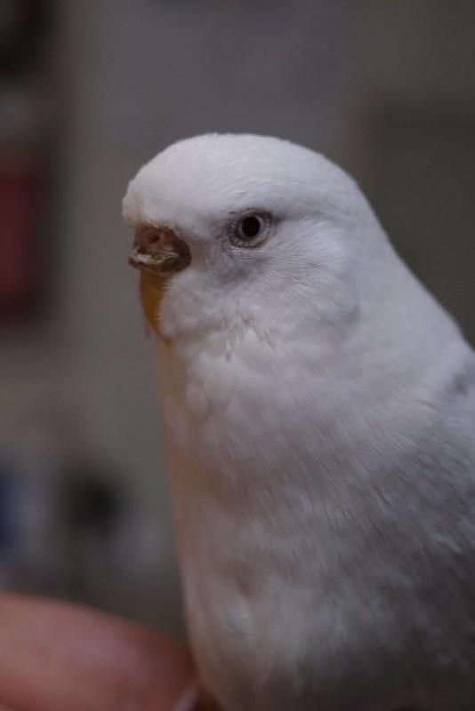 pseudo pupil detection White parakeet 01