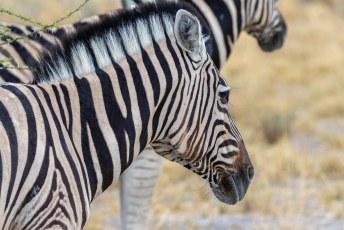 Dit zijn overigens Burchell's zebra's of Damara Zebra's. De enige soort die voor vleesproductie mag worden gebruikt. Ze zijn niet erg lekker overigens.