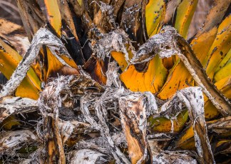 Dying Agave