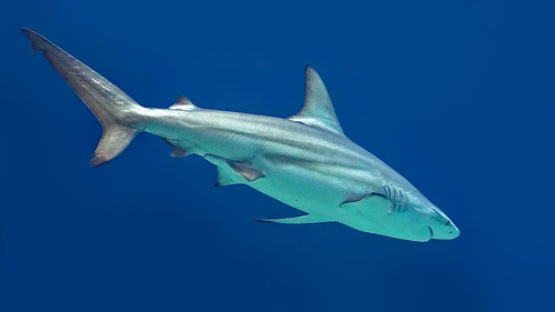 Grey reef shark (Grijze rifhaai)