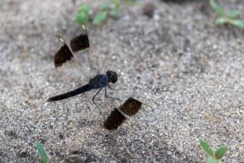 Deze bijvoorbeeld met zijn gestreept/doorzichtige vleugeltjes.