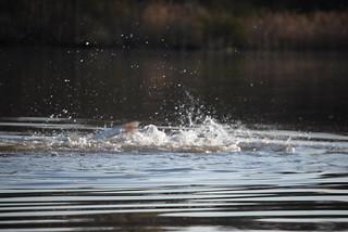 Photo of Splashing water due to spawning striped bass