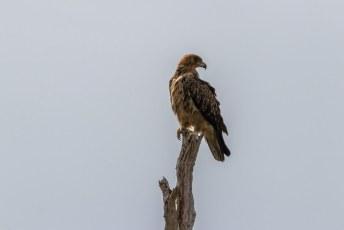 ....het zou dan wel heel toevallig zijn dat we meteen daarna een Steppearend (Aquila nipalensis) zagen, want die is bijna net zo zeldzaam.