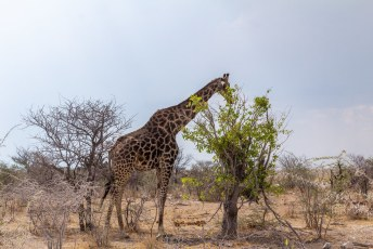 De vierde giraf van de dag.