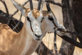 Kenmerken zijn o.a. de witte kop met bruine strepen van de ogen naar de mond.