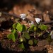 Wood Sorrel (Oxalis)