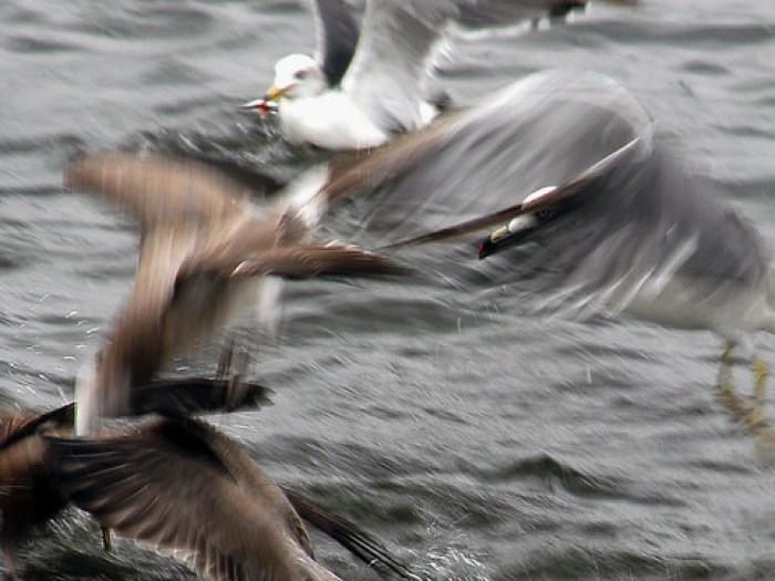 Japanese Gulls