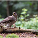 Northern Goshawk (female) - Havik (vrouw) (Accipiter gentilis) ...