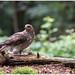 Northern Goshawk (female) - Havik (vrouw) (Accipiter gentilis) ...
