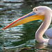 Pelikan / Pelican...