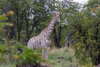 De Zuid-Afrikaanse Giraf.
