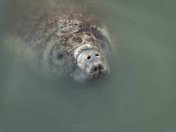 Manatee head shot