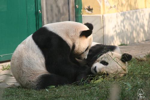 zoo animals: panda
