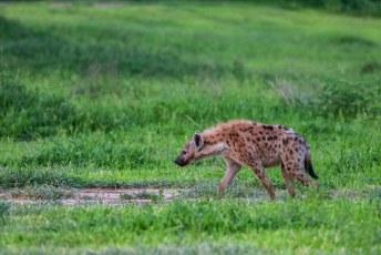 Het was al meteen raak met een hyena.