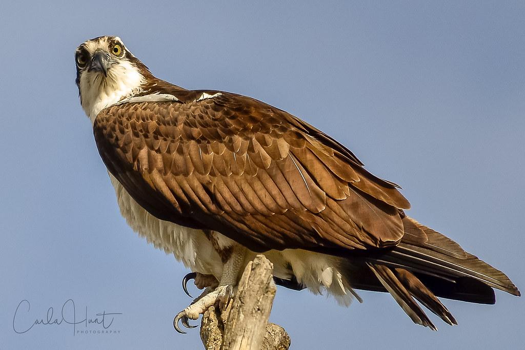 Osprey, Vernon, BC