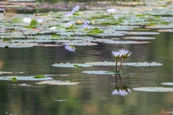 In het meer drijven talloze waterlelies.