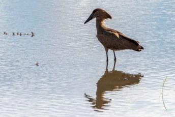 Deze vogel heeft ook in het engels een oerhollandsche naam, de hamerkop (latijn: Scopus umbretta).