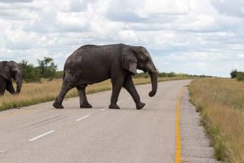 Die moeten namelijk de weg oversteken als ze van Makgadikgadi park naar het Chobe park willen.
