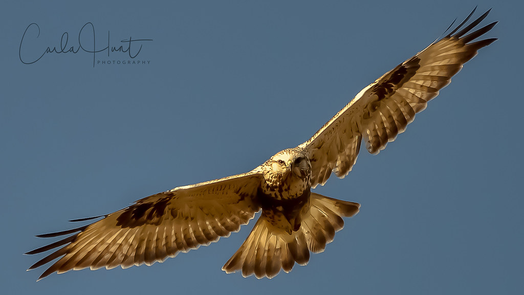 Rough-legged Hawk, Vernon, BC