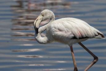 Wel veel flamingos, heel veel zelfs.